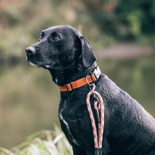 Hurtta Casual Collar cinnamon and Casual Rope Leash on dog NZ