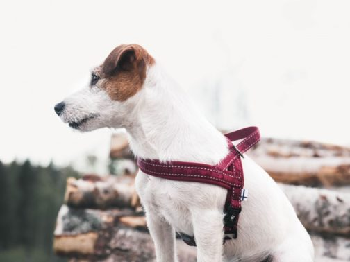Casual Harness on dog NZ