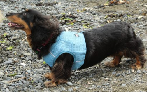 Cooling Vest on dachshund NZ