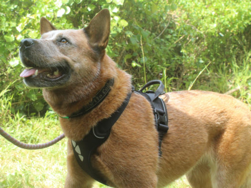 Active Harness on dog NZ