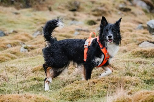 Weekend Warrior Harness on dog NZ