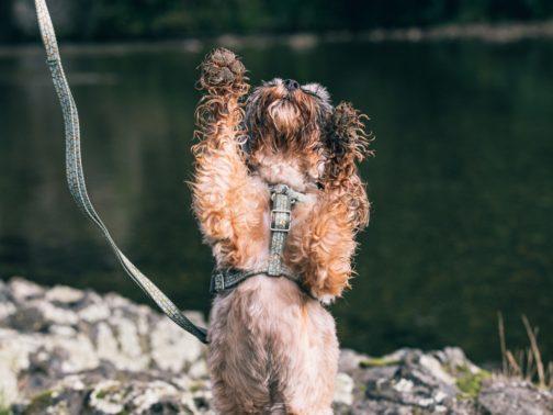 Hurtta Razzle Dazzle Y-Harness and Standard Leash on dog NZ